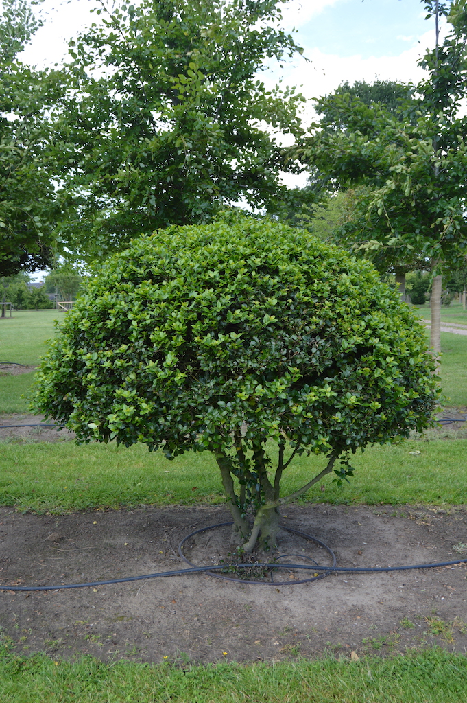 Ilex meserveae 'Blue Prince' (Blue Holly) multi-stem balls (3)
