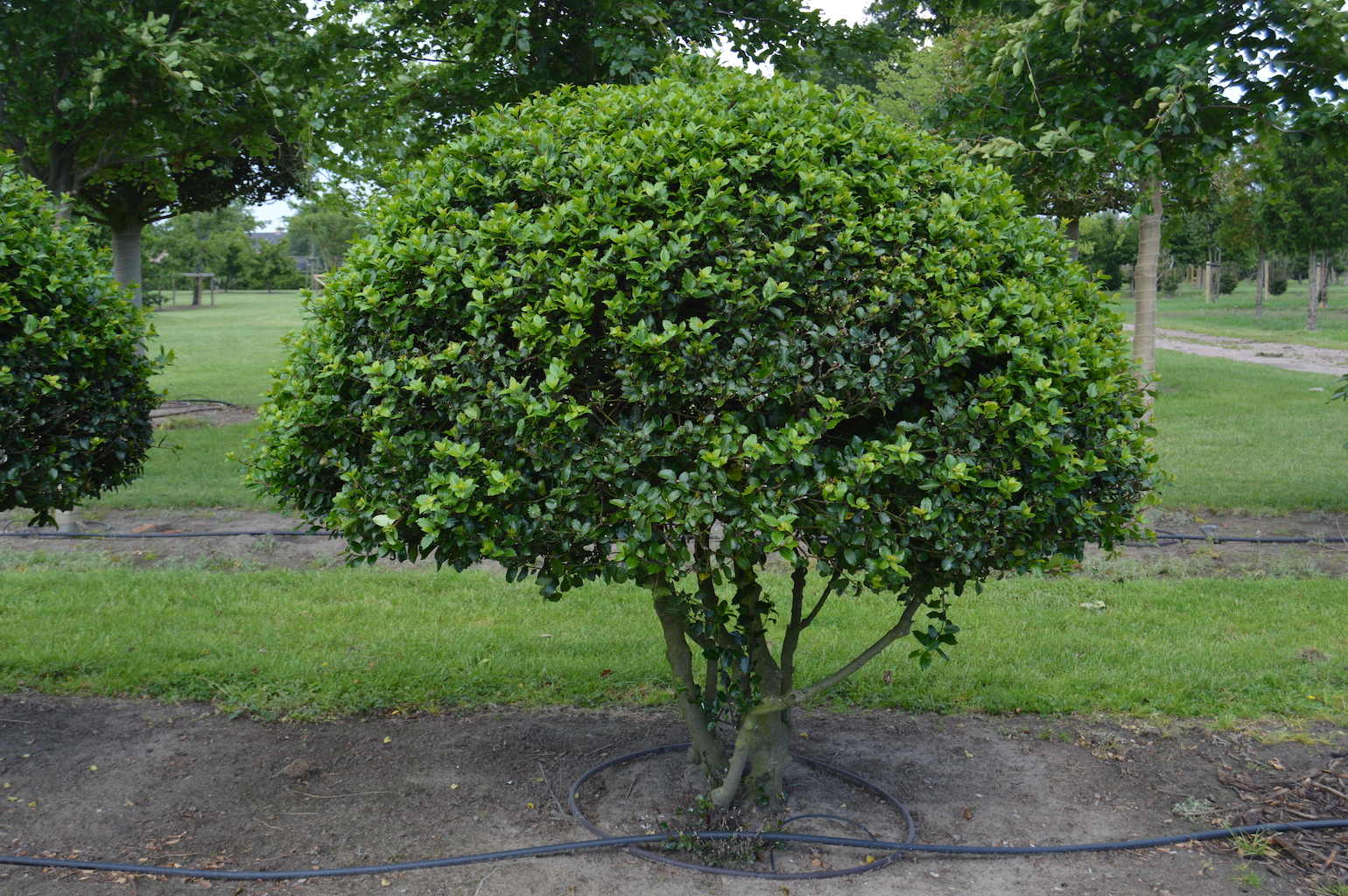 Ilex meserveae 'Blue Prince' (Blue Holly) multi-stem balls (4)