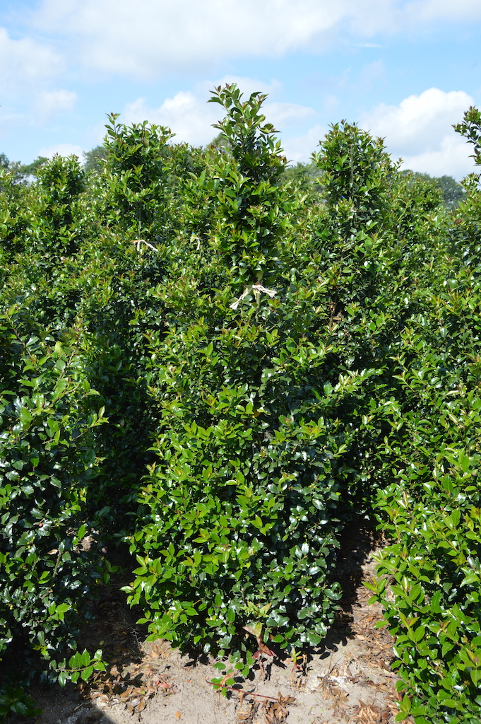 Ilex meserveae 'Blue Prince' hedge plants 175-200-225cm