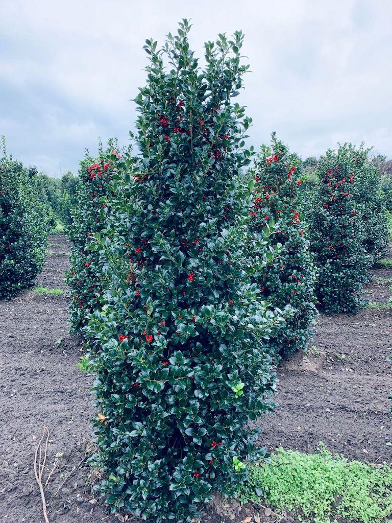 Ilex meserveae 'Heckenfee' hedge plant 200-225cm