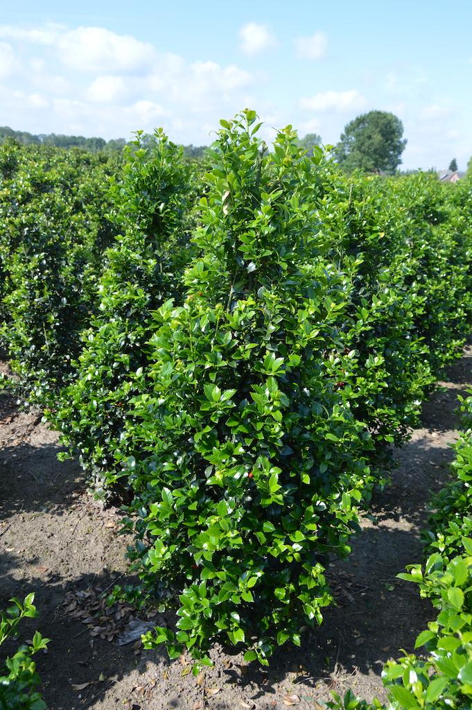 Ilex meserveae 'Heckenstar' hedge plants