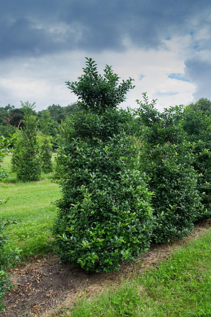 Ilex meserveae heavy grade evergreen hedge plants