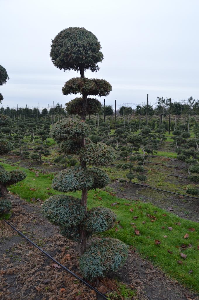 Juniperus chinensis 'Blue Alps' cloud pruned tree 200-250cm