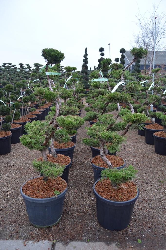 Juniperus chinensis 'Kaizuka' cloud pruned trees 100-125cm