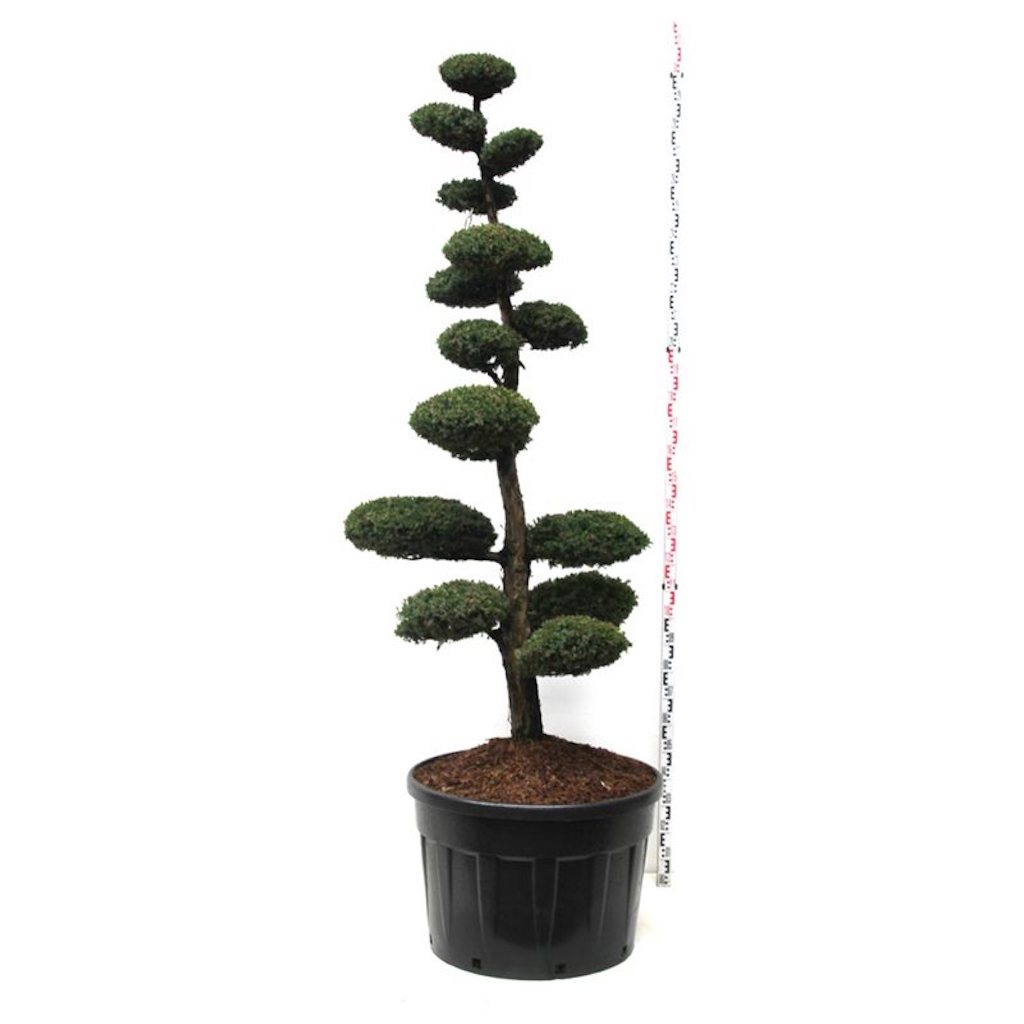 Juniperus chinensis 'Monarch' cloud pruned 200-225cm C230