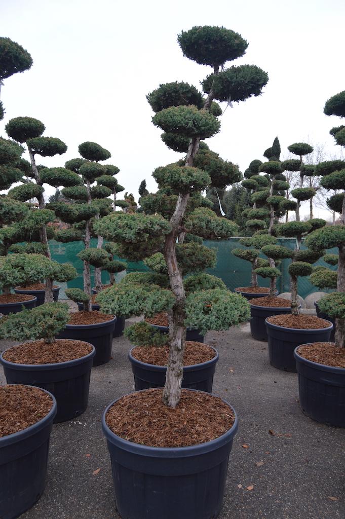Juniperus chinensis 'Monarch' cloud pruned specimen tree 200-225cm