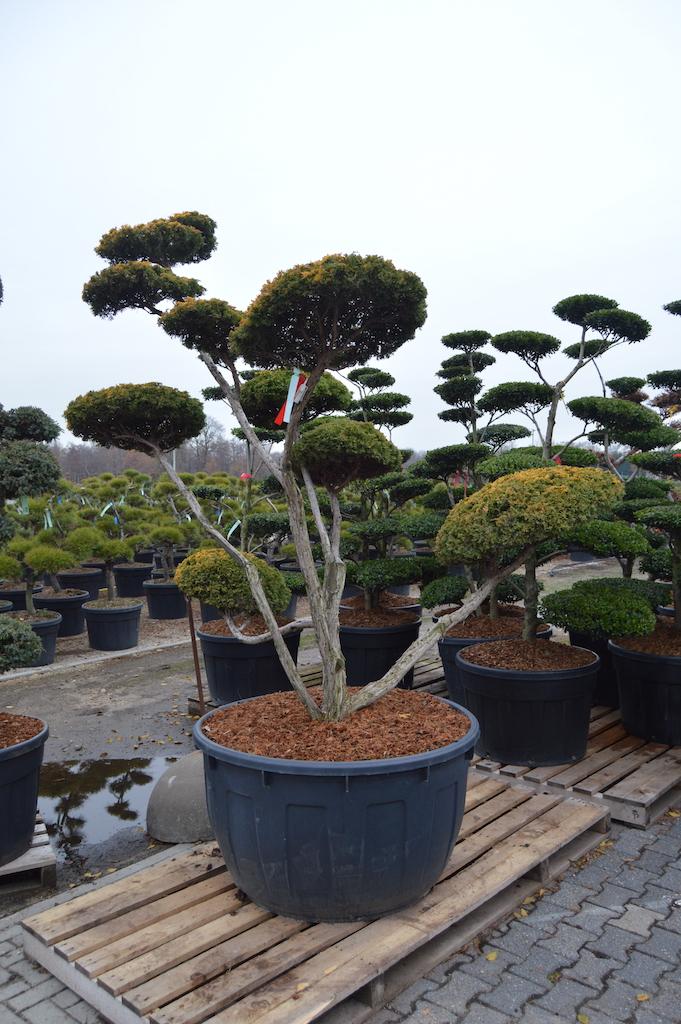 Juniperus chinensis 'Plum Aurea' cloud pruned tree 200-225cm
