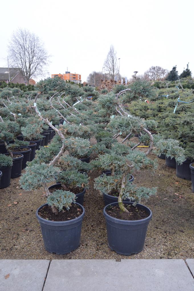 Juniperus squamata 'Blue Star' cloud pruned 100-125cm