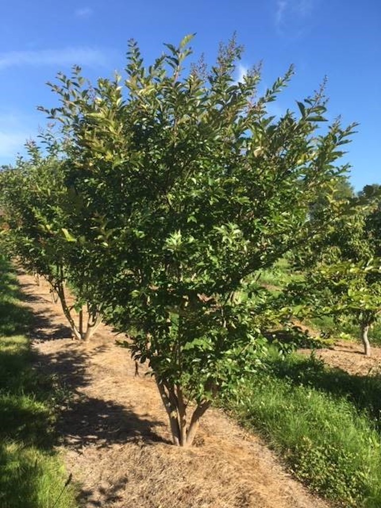Lagerstroemia 'Natchez' multi-stem tree 200-250cm