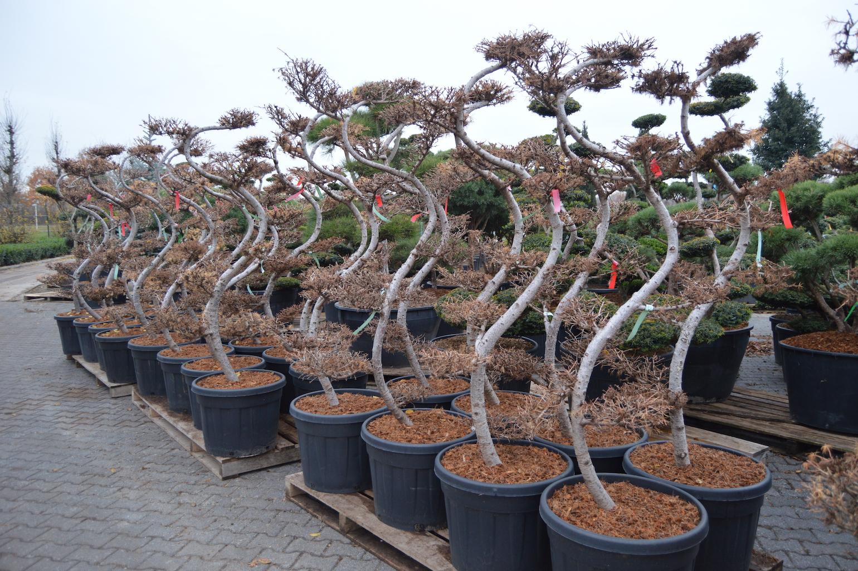 Larix kaempferi (Larch) clould pruned trees 150-175cm