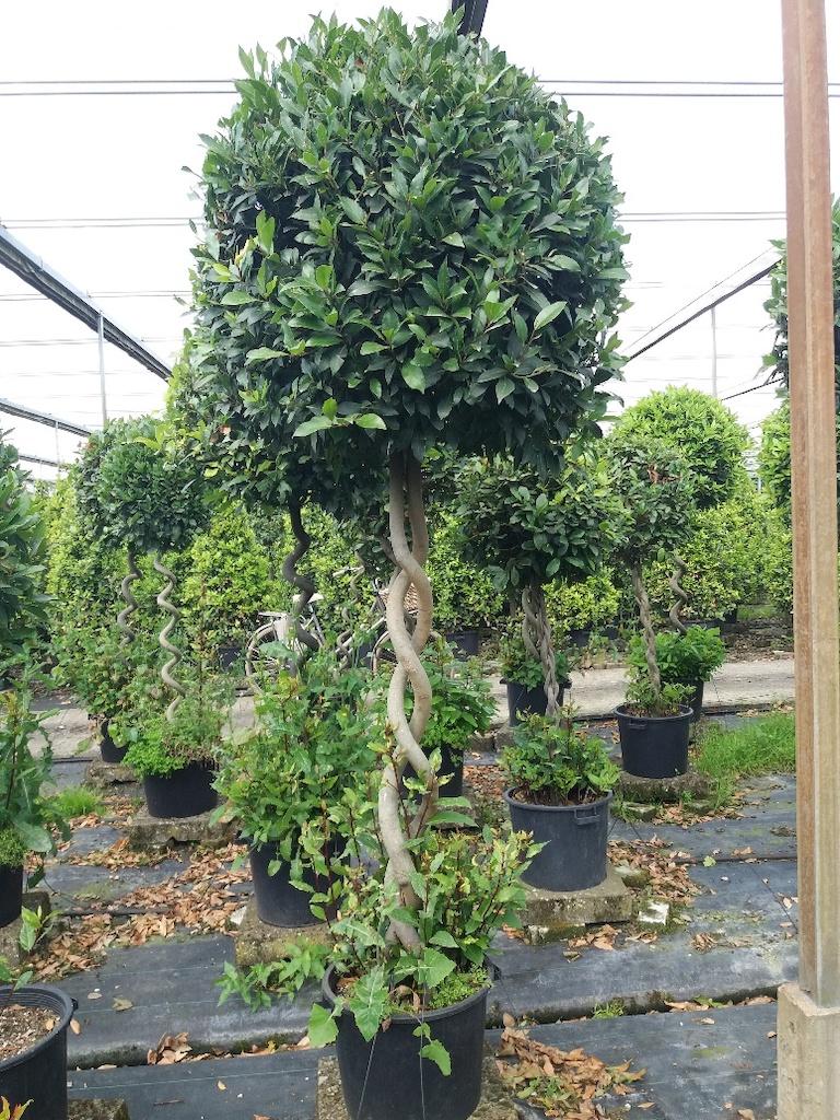 Laurus nobilis helix stem, 50 litre pot, 140cm clear stem, 260cm height including pot, ball diameter 100cm, 20 years old
