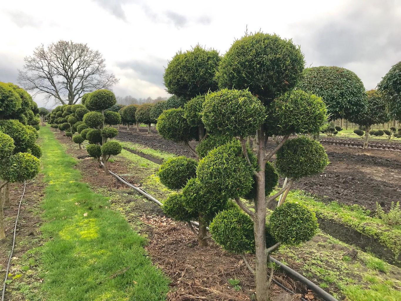 Leylandii 'Castlewellan Gold' cloud pruned (1)