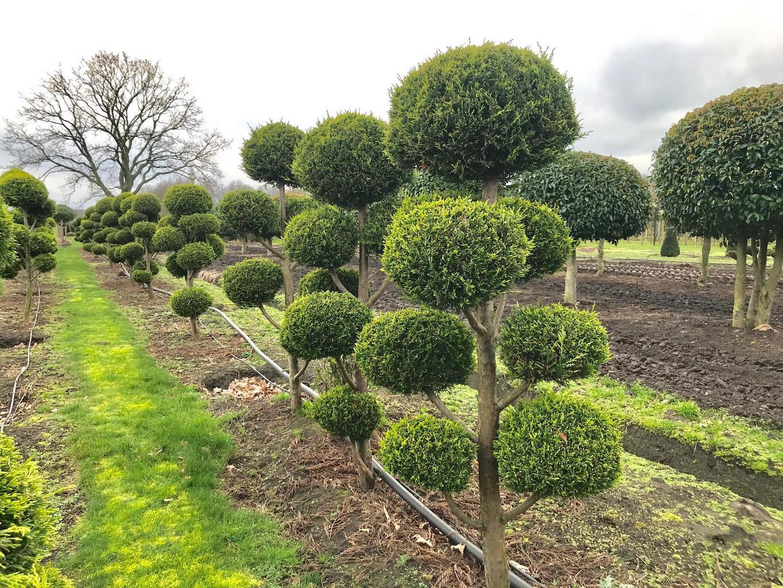 Leylandii 'Castlewellan Gold' cloud pruned (2)