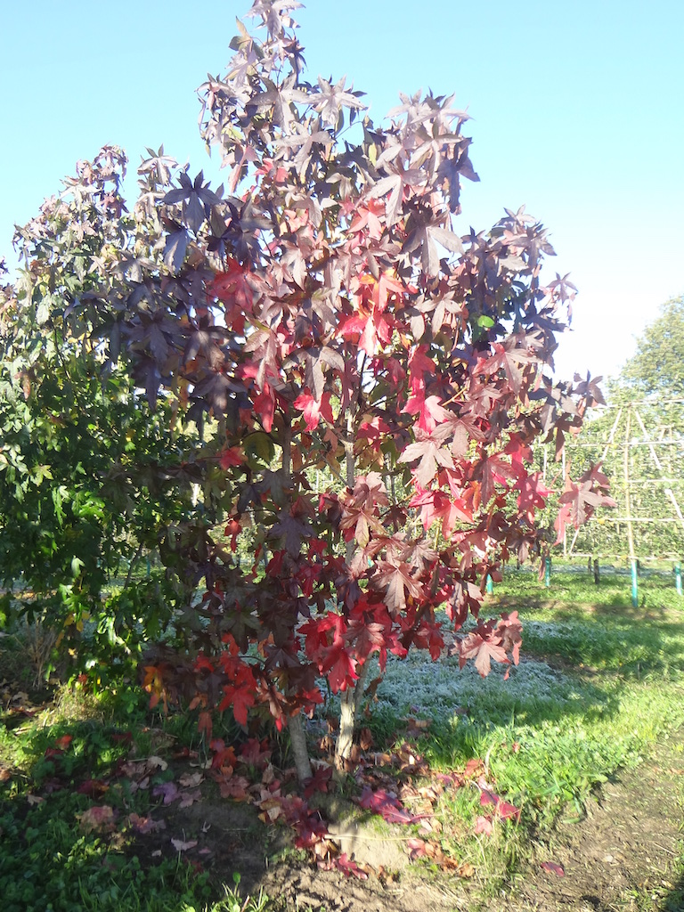 Liquidambar styraciflua (Sweet Gum) multi-stems (autumn)
