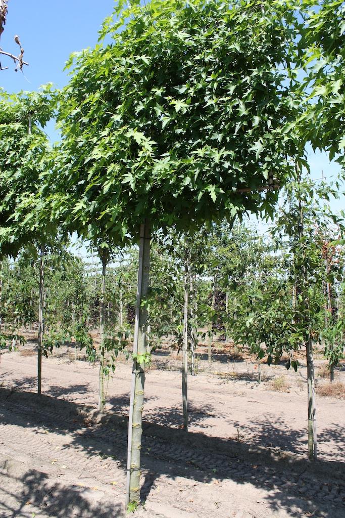 Liquidambar styraciflua 'Worplesdon' high pleached tree 25-30 grade