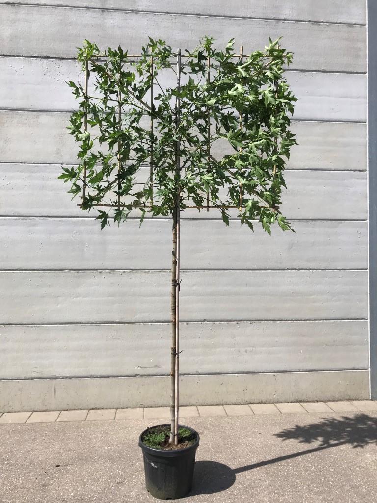 Liquidambar styraciflua 'Worplesdon' pleached 10-12 grade, 180cm clear stem