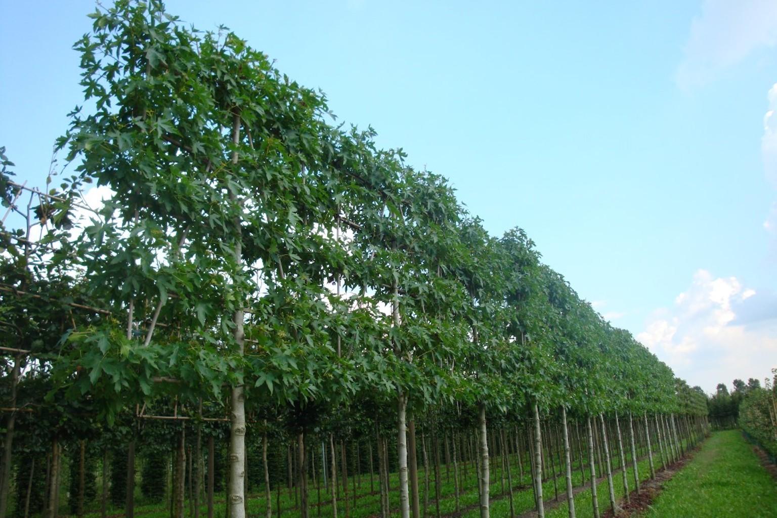 Liquidambar styraciflua 'Worplesdon' pleached 18-20, 210cm clear stem
