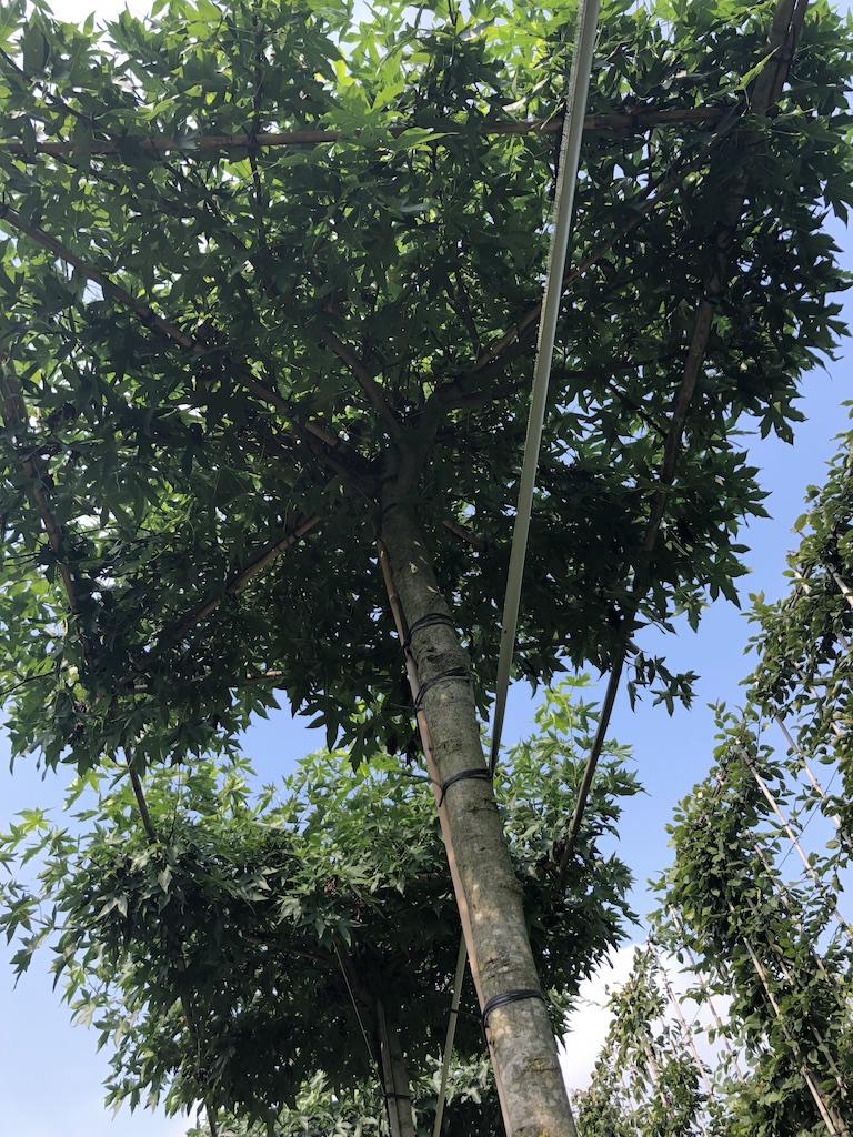 Liquidambar styraciflua 'Worplesdon' roof-form tree canopy
