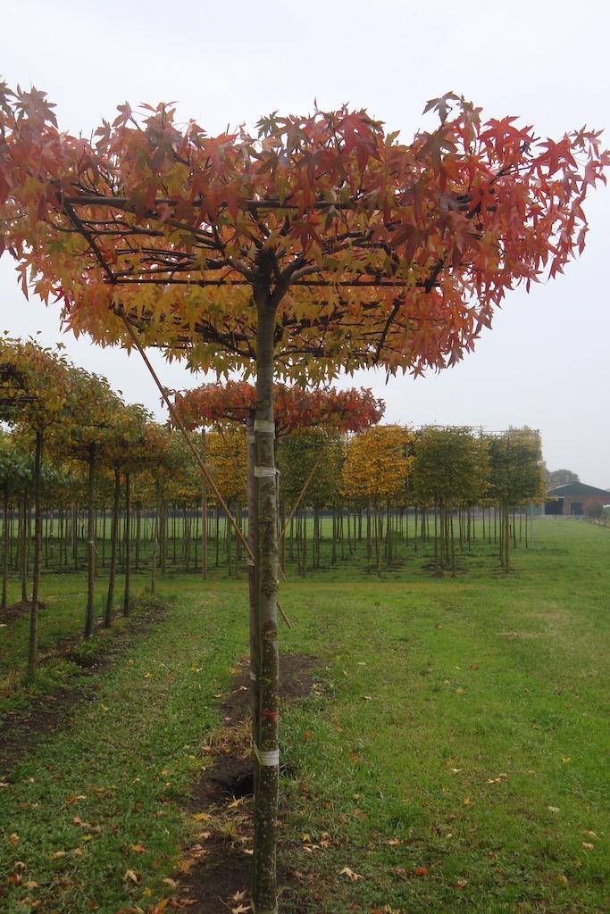 Liquidambar styraciflua 'Worplesdon' roof form trees 18-20 grade in autumn