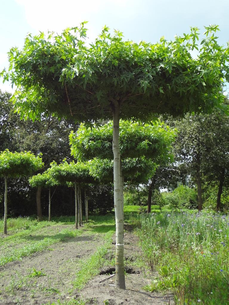Liquidambar styraciflua 'Worplesdon' roof form trees 25-30 grade