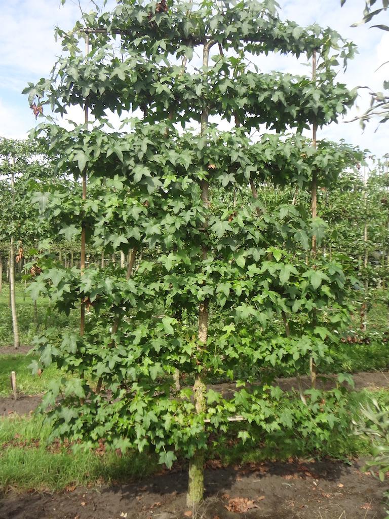 Liquidambar styraciflua low espalier pleached tree 16-18 grade
