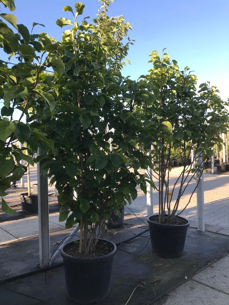 Magnolia 'Galaxy' multi-stem 200-250cm C50