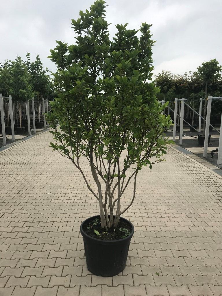 Magnolia 'Susan' multi-stem 225-250cm C70