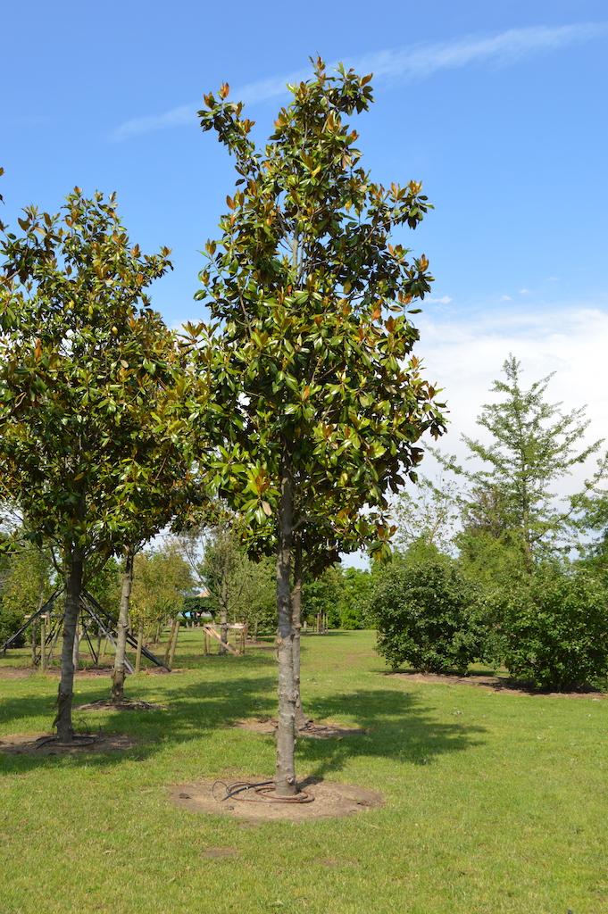Magnolia grandiflora tree
