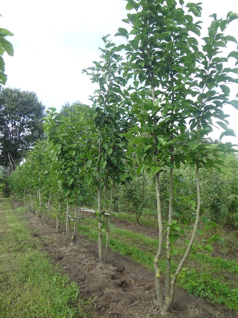 Magnolia kobus multi-stems