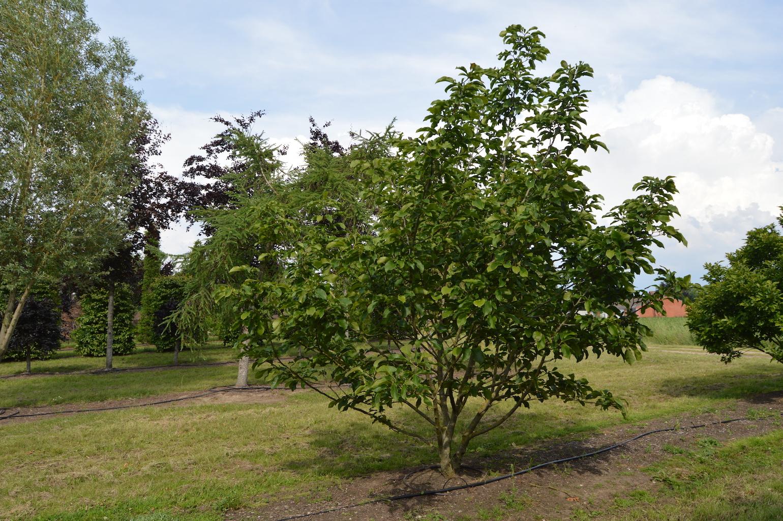 Magnolia lillflora 'Susan' (1)