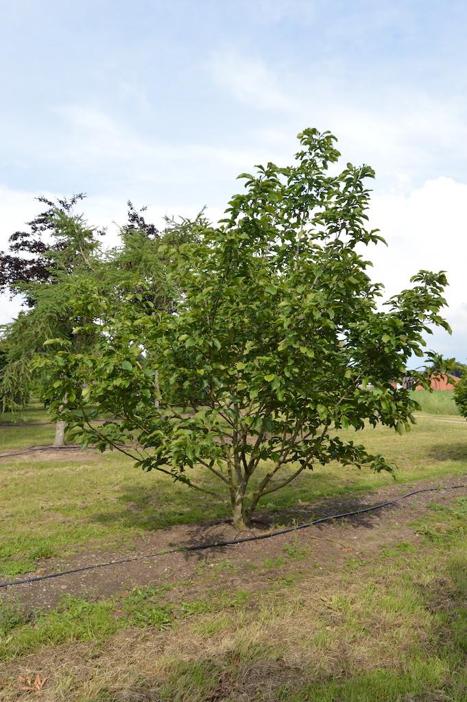 Magnolia lillflora 'Susan' (2)