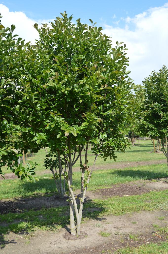 Magnolia loebneri 'Merrill' multi-stem trees (1)