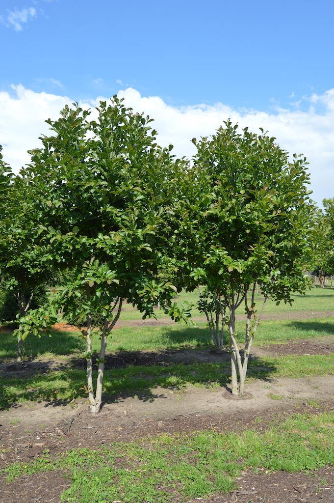 Magnolia loebneri 'Merrill' multi-stem trees (2)