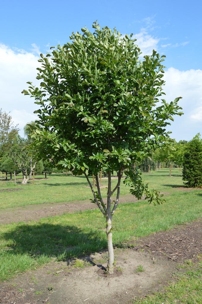Magnolia loebneri 'Merrill' multi-stem trees (3)
