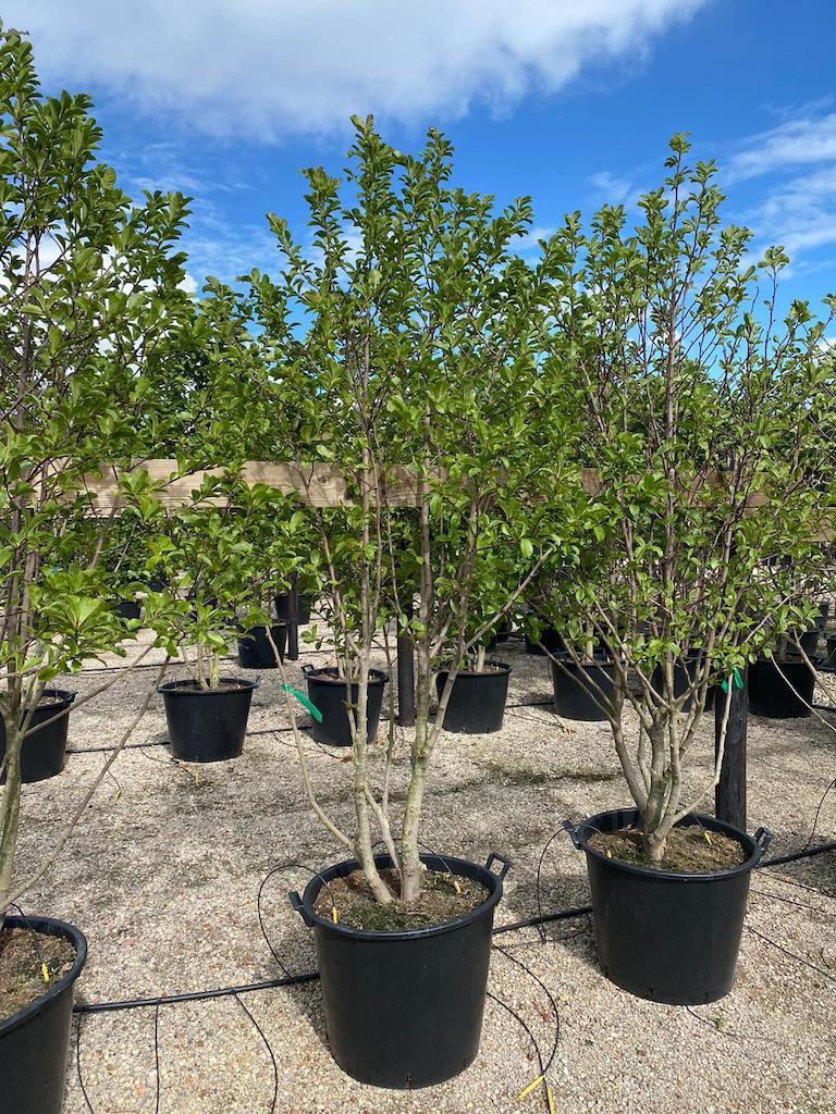 Magnolia loebneri 'Merrill' multistem 250cm+ C90