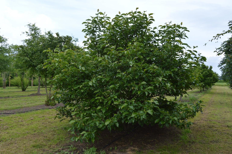 Magnolia soulangeana multi-stem specimen 300-400cm