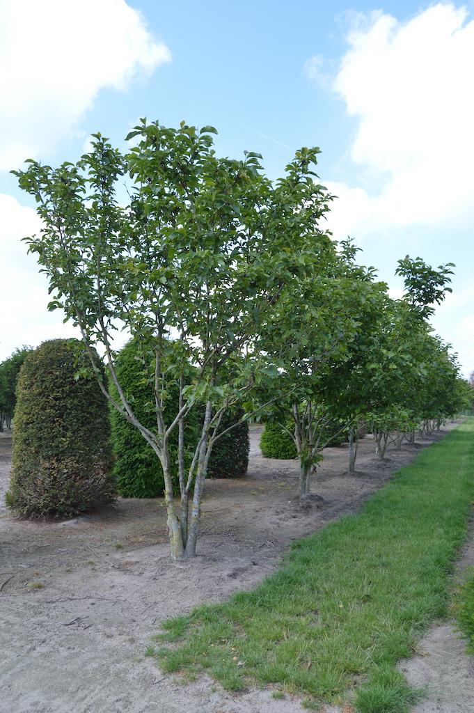 Magnolia soulangeana multi-stem specimen tree
