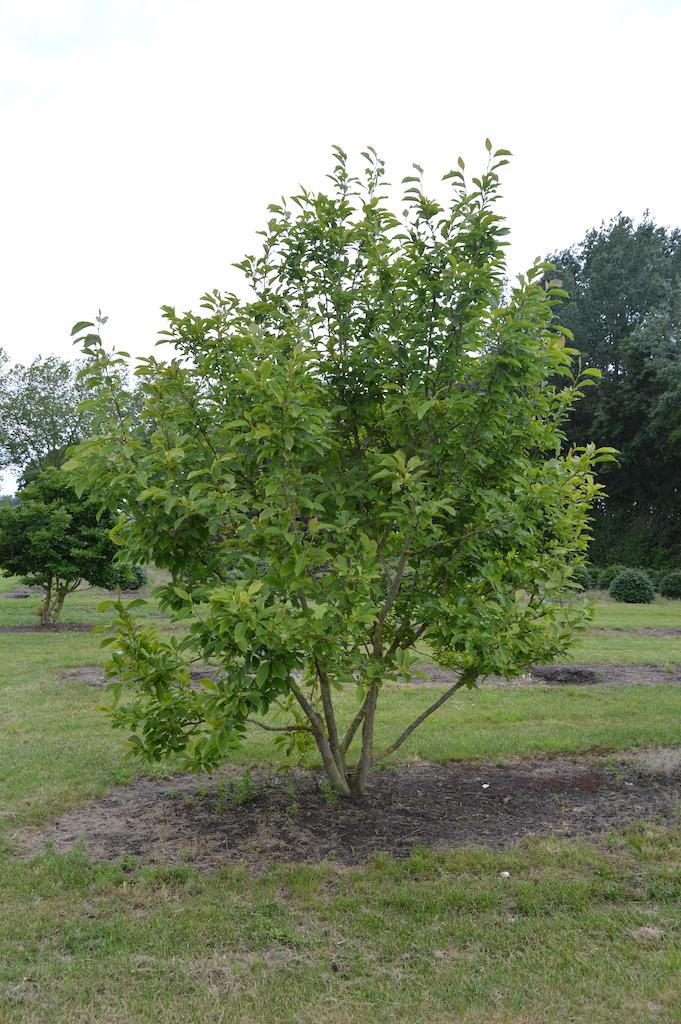 Magnolia soulangeana multi-stem specimen
