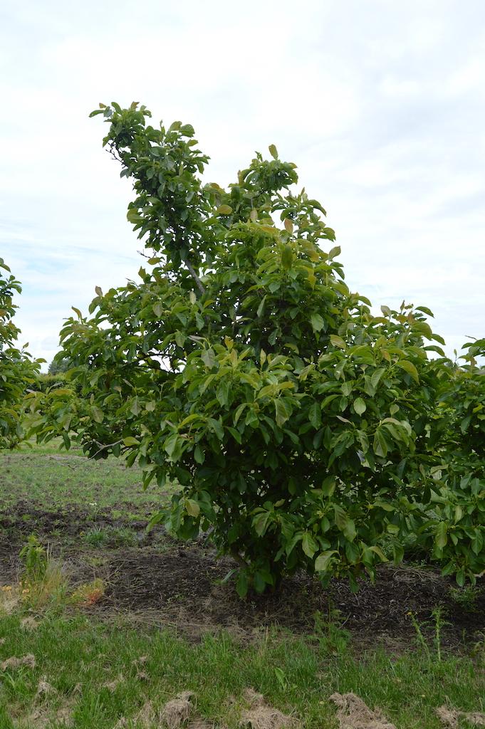 Magnolia soulangeana multi-stem tree