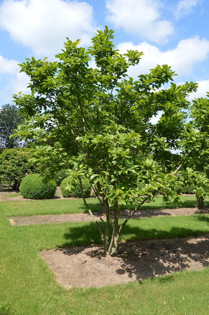 Magnolia soulangeana multi-stems 300-350cm (1)