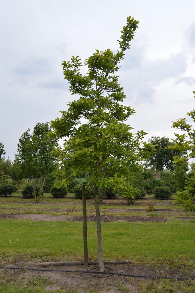 Magnolia soulangeana standard tree