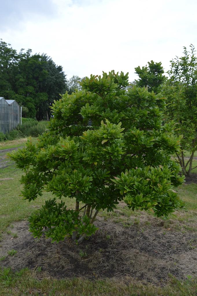 Magnolia stellata multi-stem specimen
