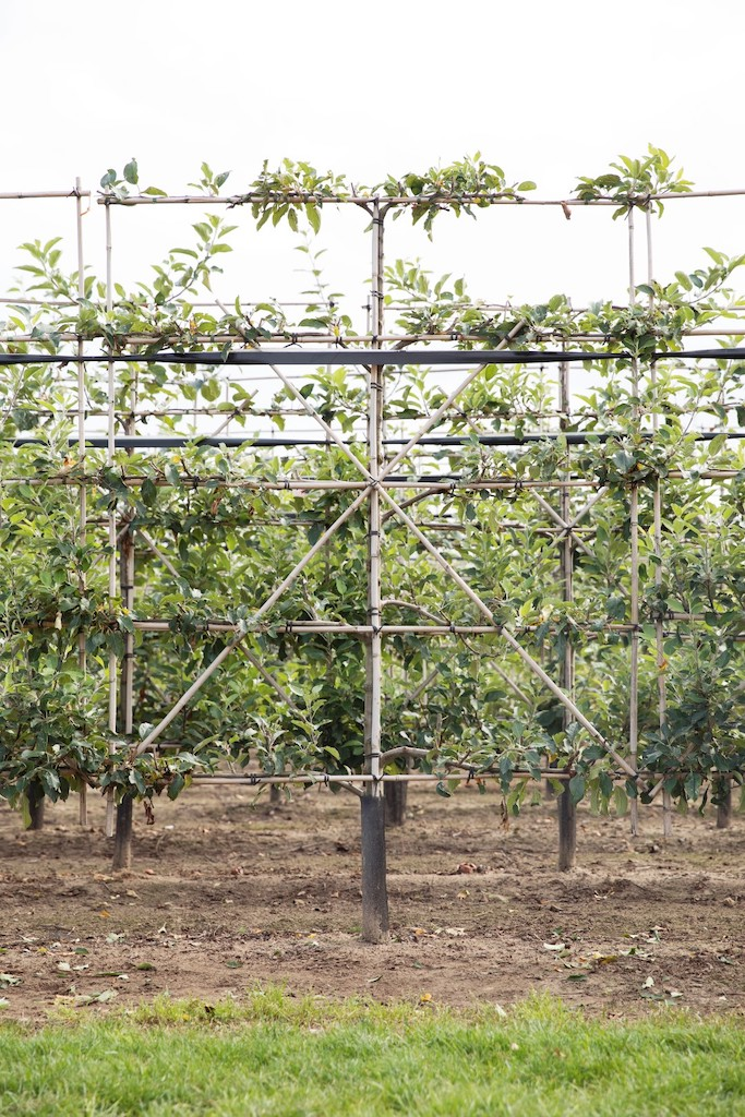 Malus 'Cox's Orange Pippin' espalier pleached, 50cm clear stem, frame 150cm wide x 170cm high, total height 220cm