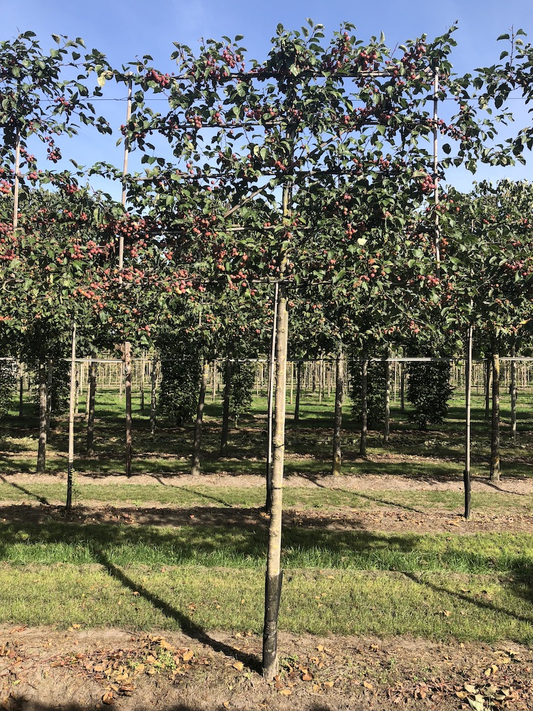 Malus 'Evereste' espalier pleached crab apple tree