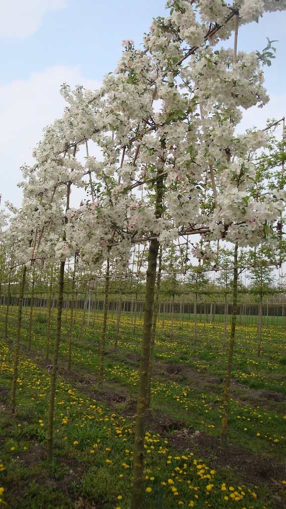 Malus 'Evereste' espalier pleached crab apple trees in spring