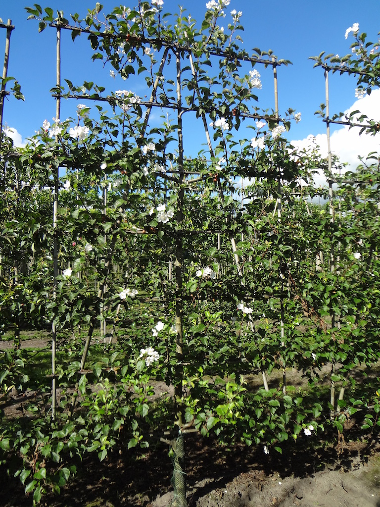 Malus 'Evereste' low espalier pleached crab apple tree