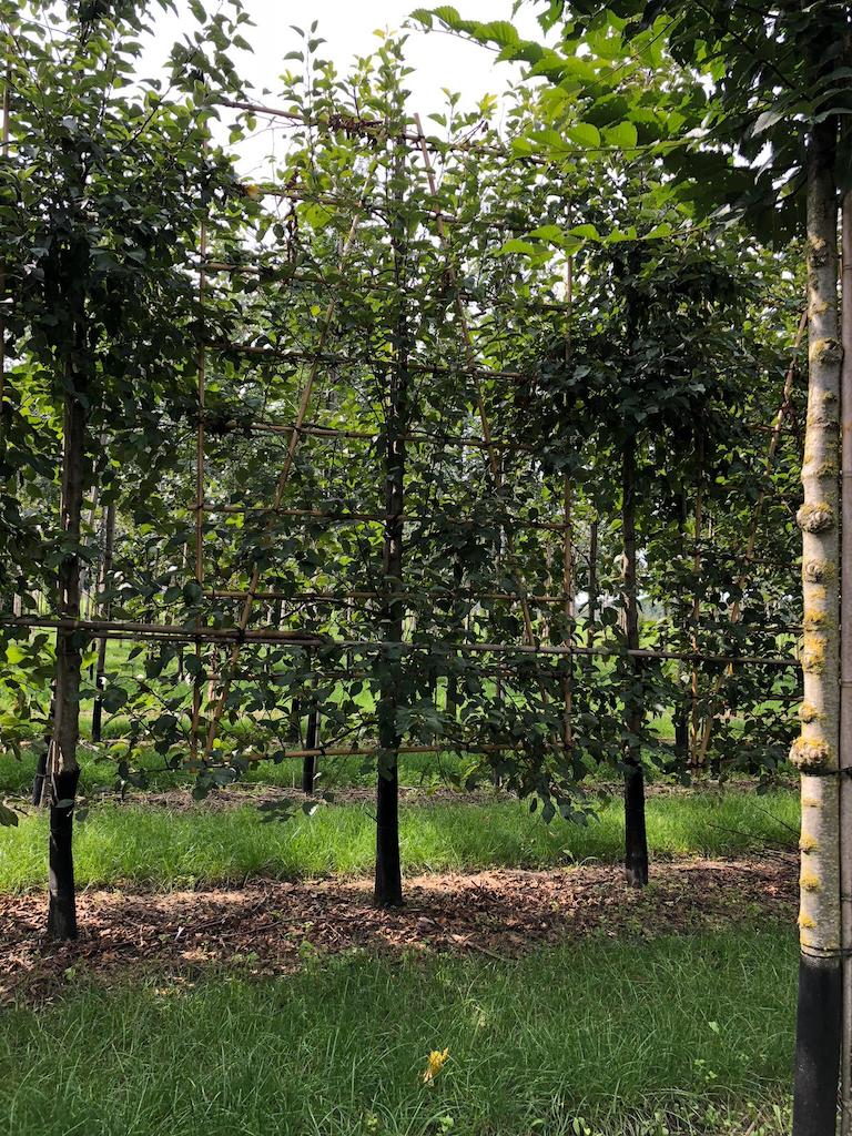 Malus 'Evereste' low pleached 16-18, 50cm clear stem frame 150cm wide, total tree height 270cm (2)
