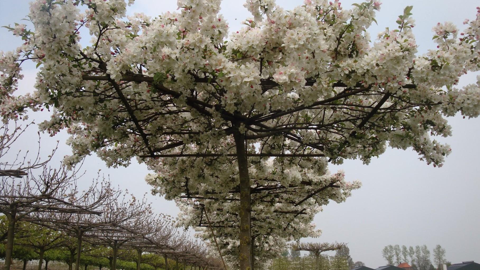 Malus 'Evereste' roof form in flower 20-25 (2)