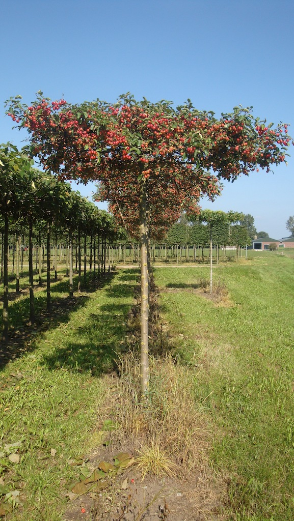 Malus 'Evereste' roof form tree 18-20 grade in late summer