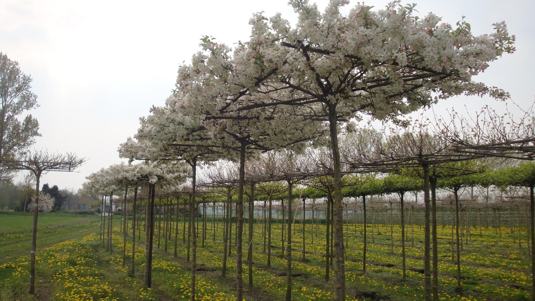 Malus 'Evereste' roof form trees in spring